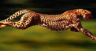 ما هو اسرع حيوان في العالم , تعرف علي الحيوانات السريعه