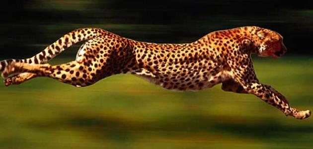 صورة ما هو اسرع حيوان في العالم , تعرف علي الحيوانات السريعه