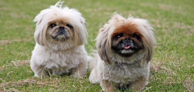 انواع الكلاب المنزلية واسعارها معلومات عن الكلاب حزن و الم