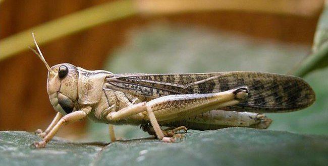 صور فوائد اكل الجراد , معلومات عن حشرة الجراد