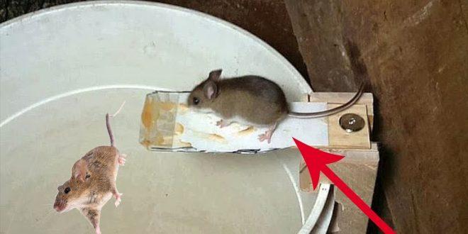 صورة افضل طريقة للتخلص من الفئران , مشكلة الفئران و كيف حلها
