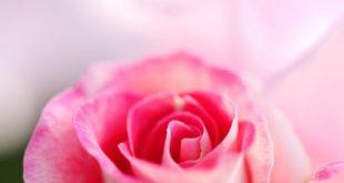 صورة صور ورود تجنن , اجمل الورود