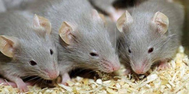 صورة تفسير الاحلام بالفئران , تاويل رؤية الفار في المنام