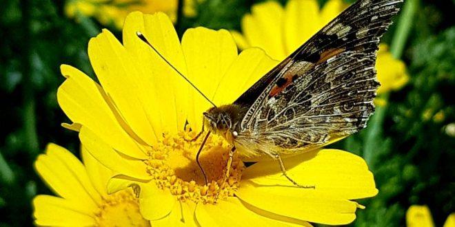 صورة اجمل الفراشات الملونة , الفراشة دليل الرقة