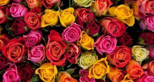 صورة معقول معانى لون الورود,صور احلا ورود