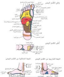 صورة خريطة الجسم في باطن القدم 147 3